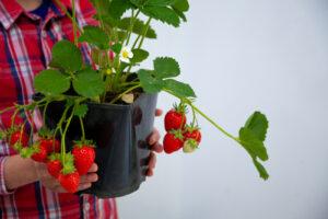 planta de fresas con frutos colgando